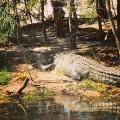 Spotted having a nap up the East Alligator River #westarnhemland #westarnhem #saltwatercroc #eastalligatorriver