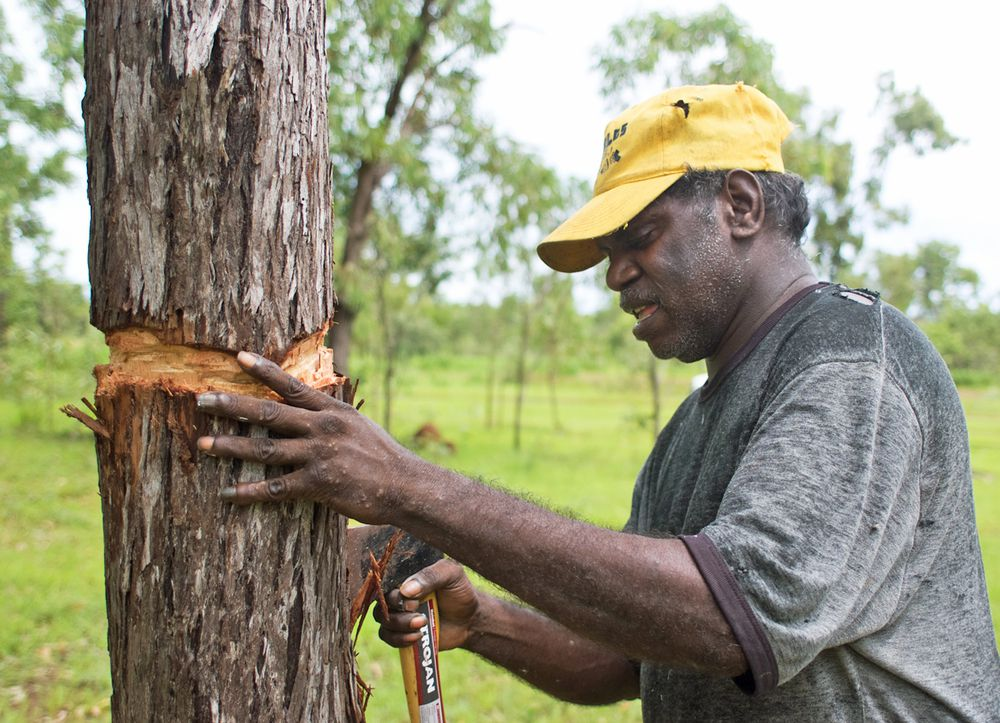 James Gurrwiwi cuts a bark from country near the old cattle yards on Warruwi. The bark will be straightened and dried ready for painting.
