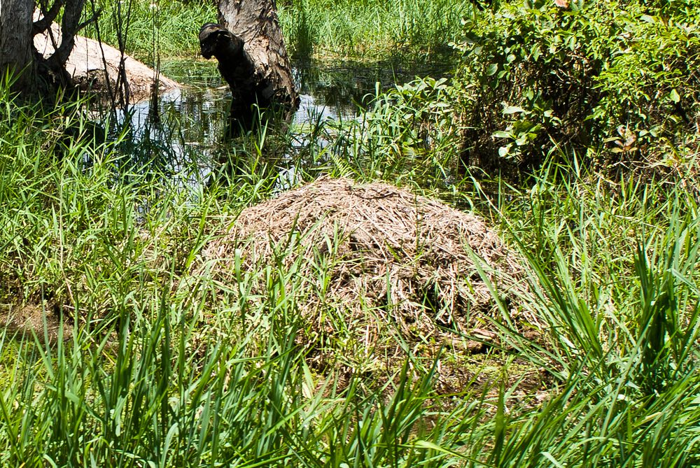 A crocodile nest in the wetlands.